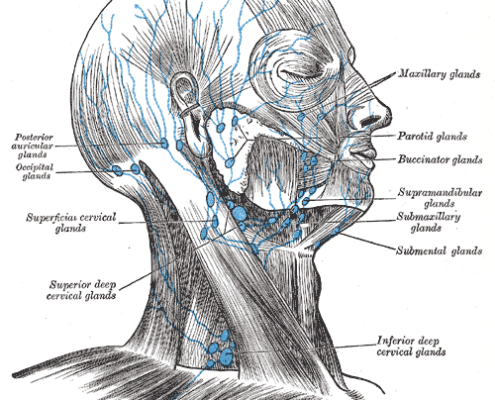 Lymph nodes in the head and neck. (CC image)
